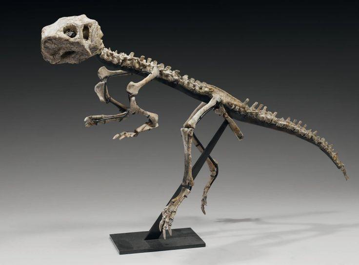Psittacosaurus. Désert de Gobie. Aptien/Albien, crétacé intérieur. Décrit par Osborn en 1923, ce dinosaure herbivore est l'ancêtre du célèbre Triceratops et à ce titre le chaînon précédant les lourds dinausores à corne du crétacé supérieur dénommés Ceratopsiens. Vente aux #encheres du 26/06/10 par Tessier & Sarrou
