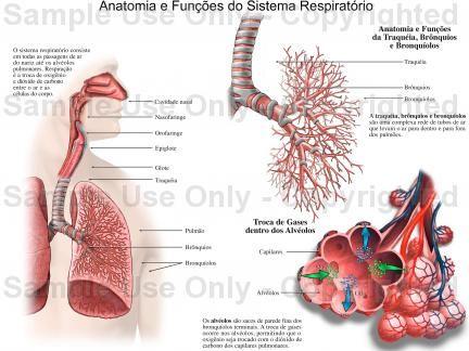 Anatomia do Sistema Respiratório. A função do sistema respiratório é facultar ao organismo uma troca de gases com o ar atmosférico, assegurando permanente concentração de oxigênio no sangue, necessária para as reações metabólicas, e em contrapartida servindo como via de eliminação de gases residuais, que resultam dessas reações e que são representadas pelo gás carbônico. Este sistema é constituído pelos tratos (vias) respiratórios superior e inferior. via @minenfermagem