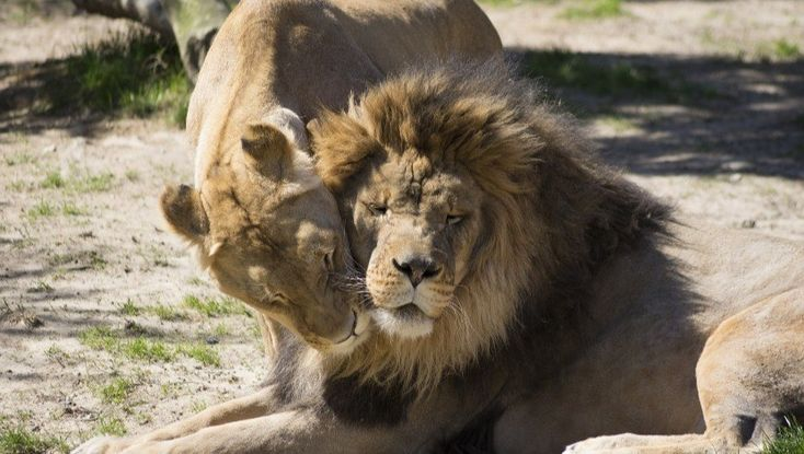Essential Oils for Lion Wrinkles between the Eyebrows