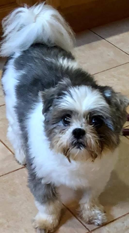 Adopt Halo On Shih Tzu Home Rescue Pets