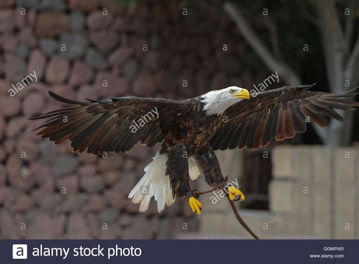 Download this stock image: Bald Eagle - Haliaeetus leucocephalus - G0WPAR from Alamy's library of millions of high resolution stock photos, illustrations and vectors.