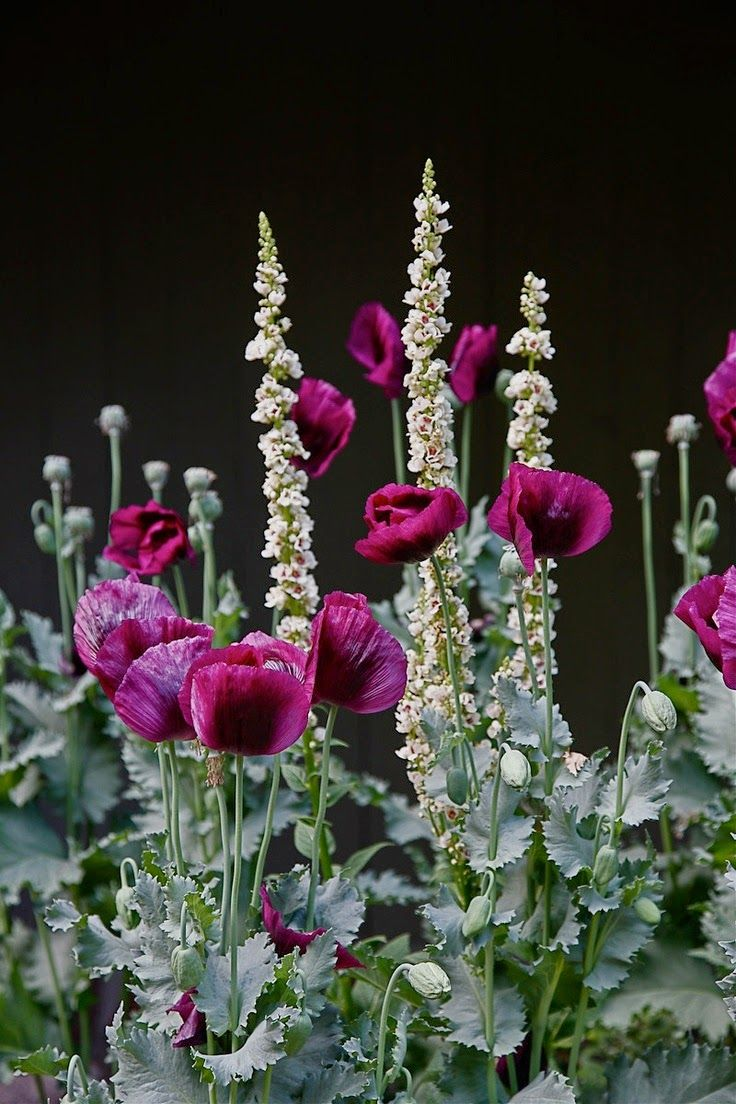 Opium poppies | Backyards Click