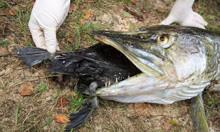 The pike who bit off more than he could chew: 25lb fish ...