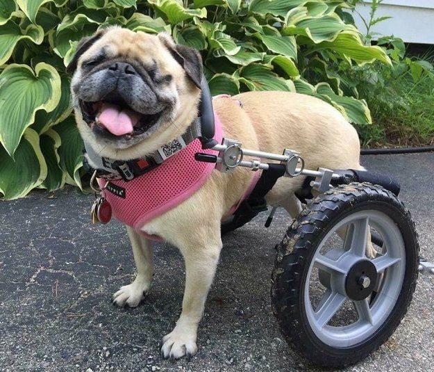 Advances In Understanding Pug Myelopathy Dog Wheelchair Pugs