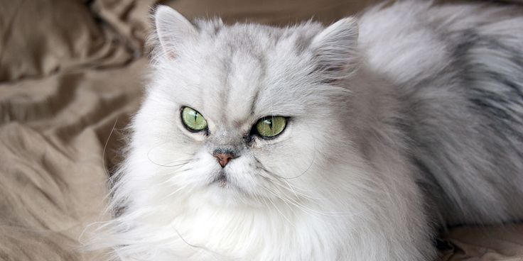 Persian cat looks Angry http://ift.tt/2dUbh0X