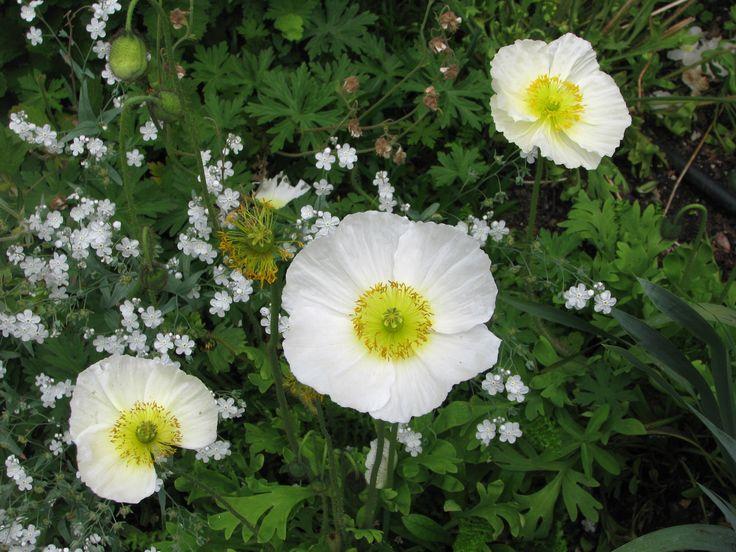 Poppies White Garden Auckland