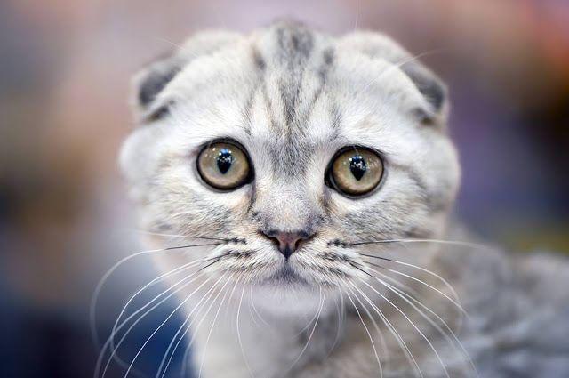 Scottish Fold Kitten.. Cick the pic for more #aww