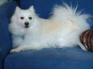 American Eskimo Dog Information, Pictures of American Eskimo Dogs ...