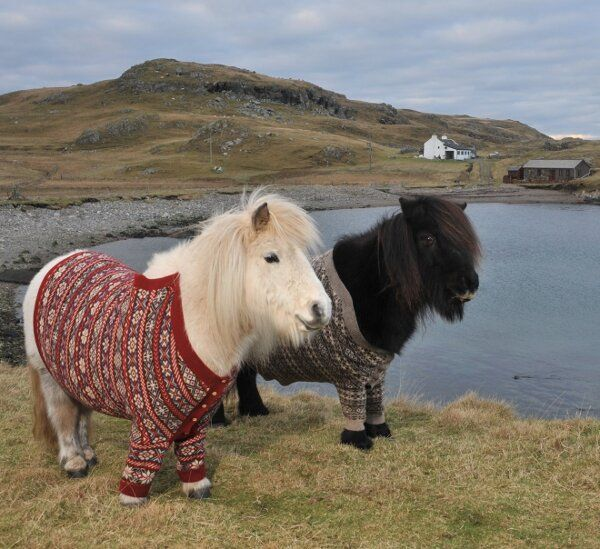 Shetland ponies Flivia and Vitamin in their Fair Isle cardis ... photo by Rob McDougall. Shetland Islands, Scotland