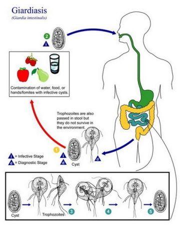 Цикл жизни паразитов лямблий