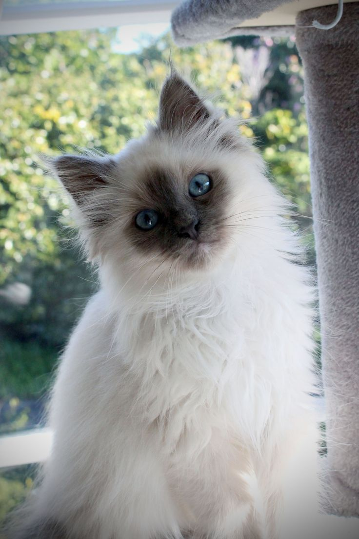 Birman Kitten - Blue Point - 3 Months old