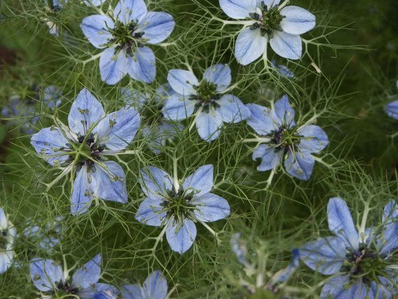 Black Cumin Plant Seeds (Nigella Sativa) Used As Medicinal and Culinary Herb -Organic !