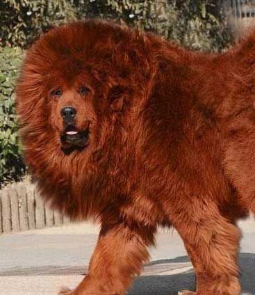 This is one very expensive breed. The Tibetan Mastiff :-) It's been reported one was sold for nearly $2 million in Asia. Look at all that hair! It's beautiful :-)