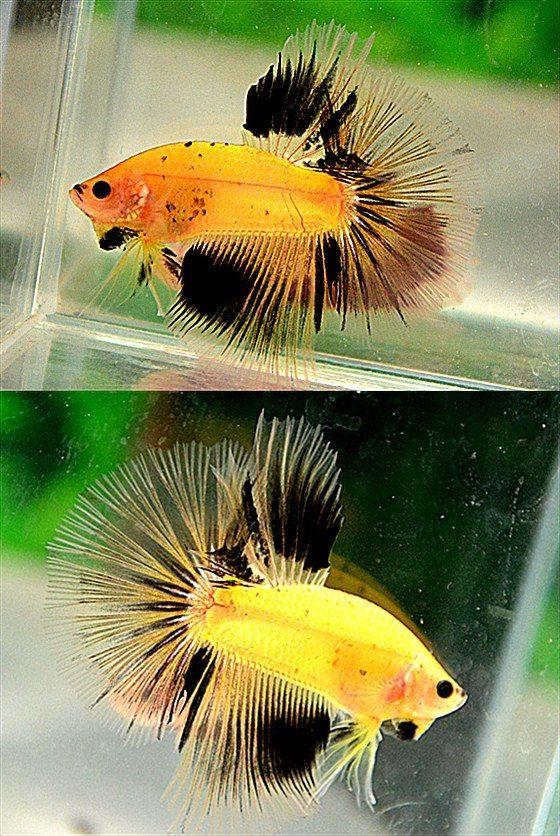 AquaBid.com - Item # fwbettashm1390382775 - Yellow Black ...