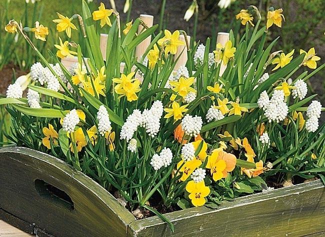 """Résultat de recherche d'images pour """"potées de jacinthes blanches et joncquilles jaunes pales en potée pinterest"""""""