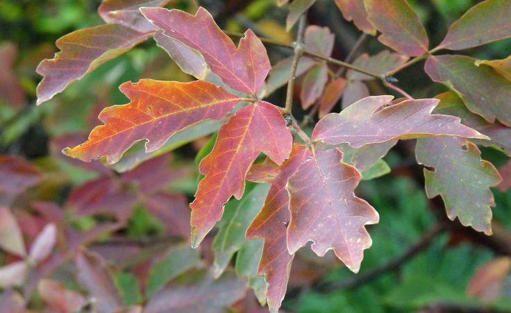 Die schönste Herbstfärbung zeigt der Zimtahorn auf mäßig nährstoffreichen Böden in voller Sonne