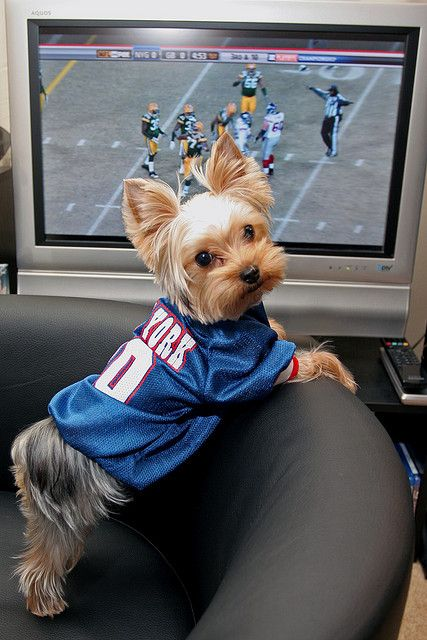 Nice idea for football on Sundays! Let your yorkie support their favorite team!