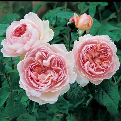 Gentle Hermione David Austin Roses Austin Rose Hybrid