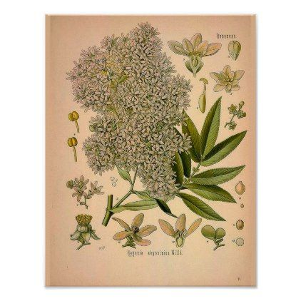 Vintage Botanical Poster - Hagenia Abyssinica - floral style flower flowers stylish diy personalize