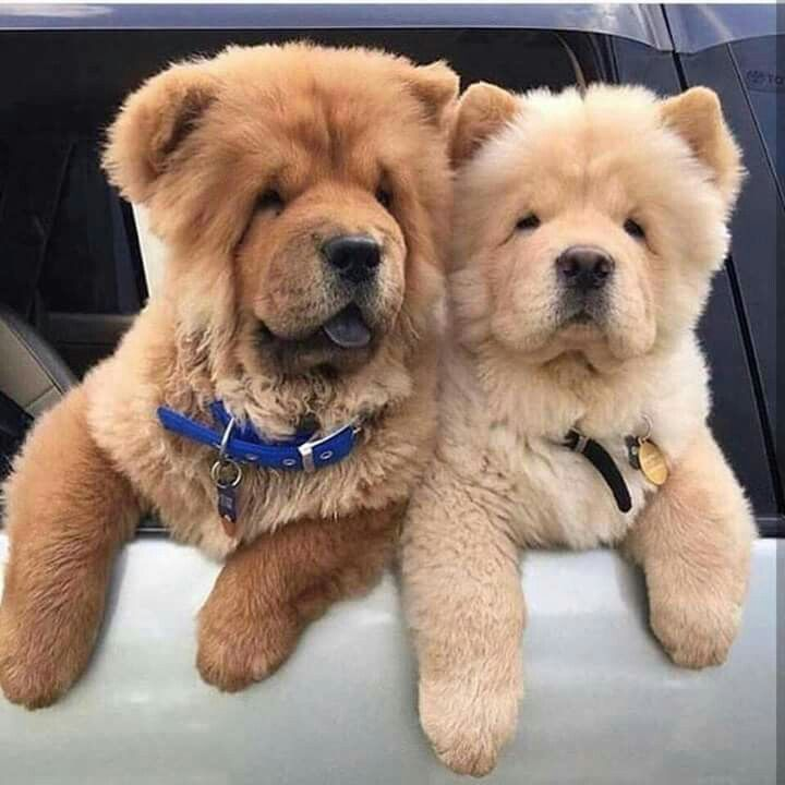 Love Me Some Chow Chows Cute Dogs Cute Puppies Cute Animals