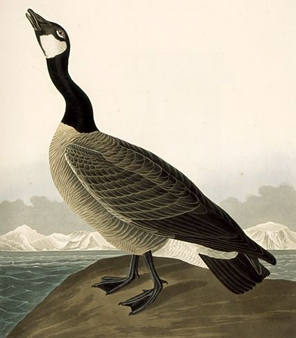 277 Hutchins's Barnacle Goose (cropped) - Jean-Jacques Audubon — Wikipédia