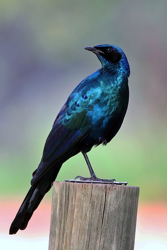 191 best images about Starlings Etourneaux on Pinterest ...