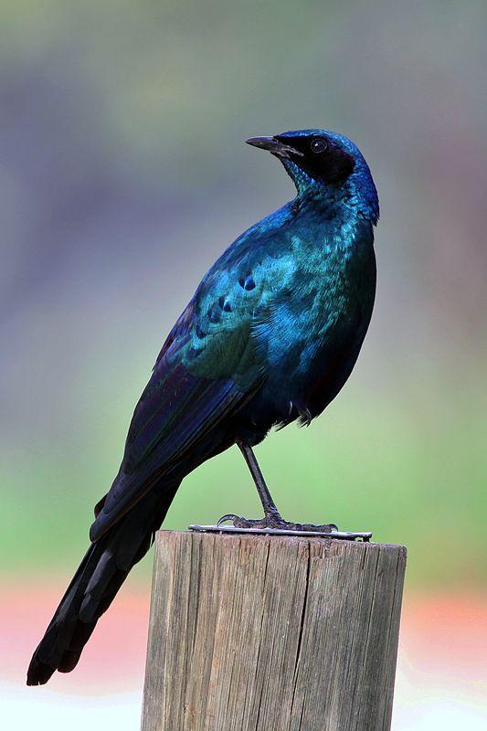 Burchell's Glossy-Starling - Lamprotornis australis © by Artur Bujanowicz