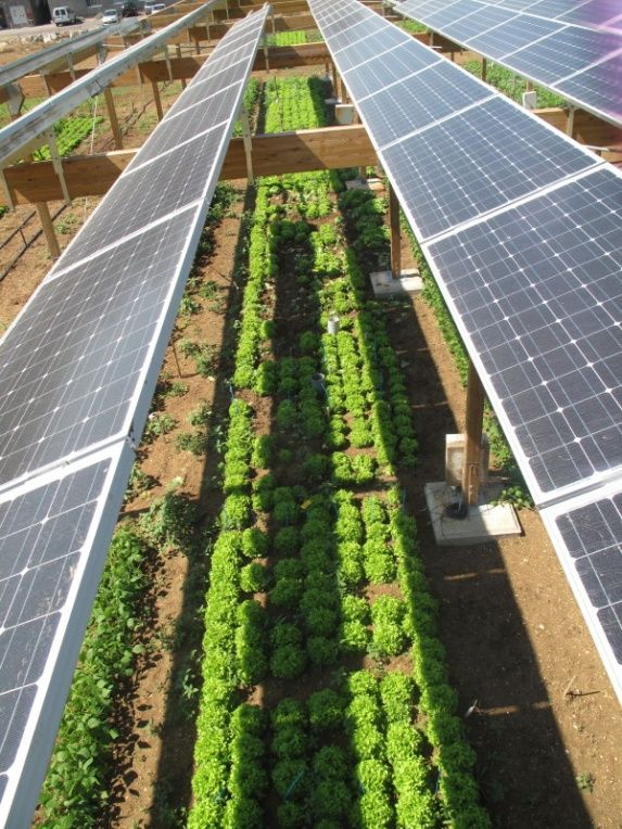 Combining solar photovoltaic-panels and food-crops for optimizing land use