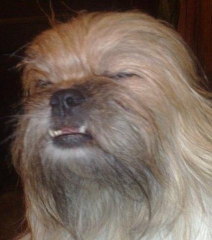 dog that looks like chewbacca - 425×481