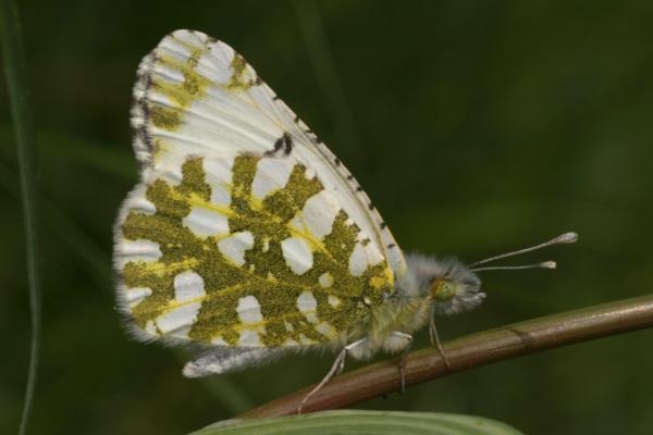 Island Marble Butterfly... Nearing extinction. Once believed to have gone extinct, a small population was rediscovered on San Juan Island, Washington.