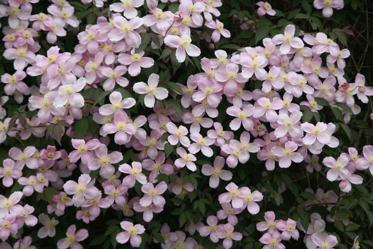 Buy clematis (group 1) Clematis montana var. rubens: Delivery by Crocus