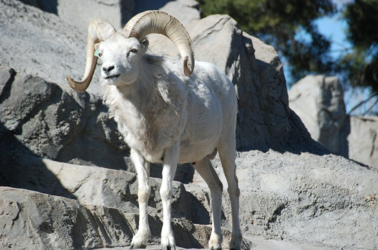 an analysis of the symbol of california desert the peninsular bighorn sheep Trade in endangered species act  under the convention on international trade in endangered species of wild fauna and  sheep, etc: addax.
