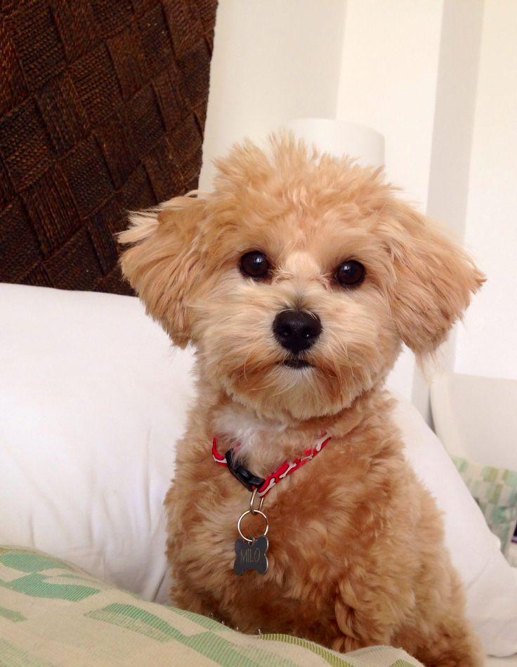 #maltipoo #puppy