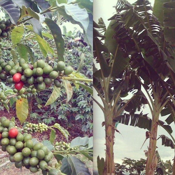 Cultivo de platano y café en el area rural de la Tebaida, Quindio. Foto gracias a http://instagram.com/palmasdegranc