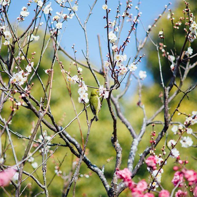 dazaifutenmangu.official 梅とメジロ  #梅 #観梅 #メジロ #春 #花 #太宰府天満宮 #太宰府の神社 #受験合格 #学業成就 #厄除け #太宰府 #学業祈願 #天神様 #鳥 #dazaifutenmangu #shrineindazaifu #shrine #jinja #shinto #japan #kyusyu #fukuoka #dazaifu #feel #sacred #plum #spring #bird #japanesewhiteeye #flower  2017/03/04 09:53:08
