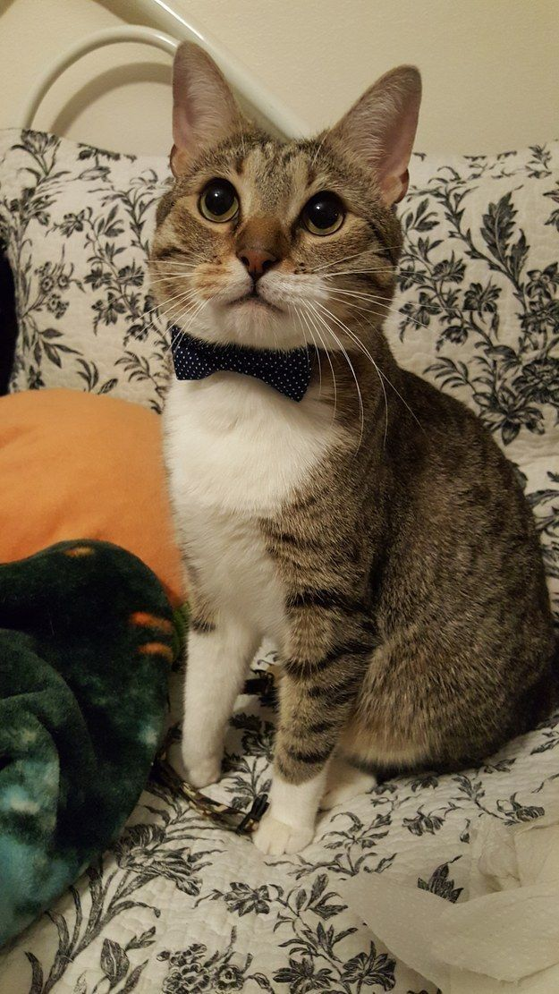 And a cat with a bowtie! Have a cat with a bowtie! | 25 Adorable Animals To Brighten Your Day
