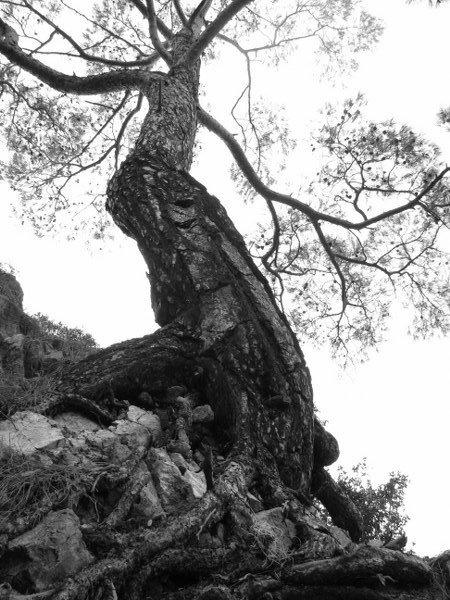 Fethiye'de bir ağaç, biraş şaşkın biraz ürkek.