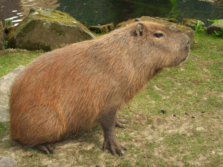 The biggest rodent on Earth #Capybara
