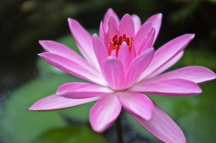LOTUS Lotus: Unbreakable Flowers, Favorite Flowers, Lotus Flowers, National Flowers, Yoga Workout