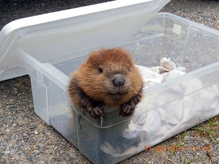 A baby beaver! - Imgur