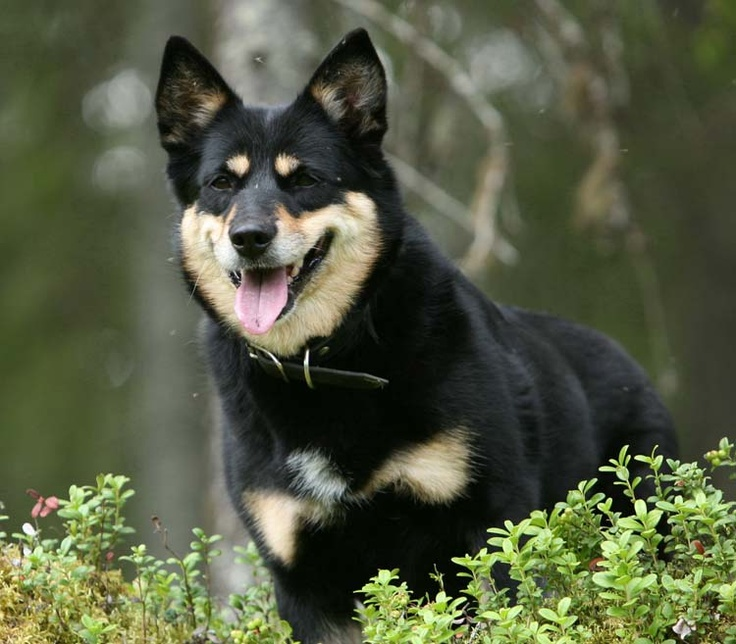Some day I`ll have a dog like this, Lapponian Herder.