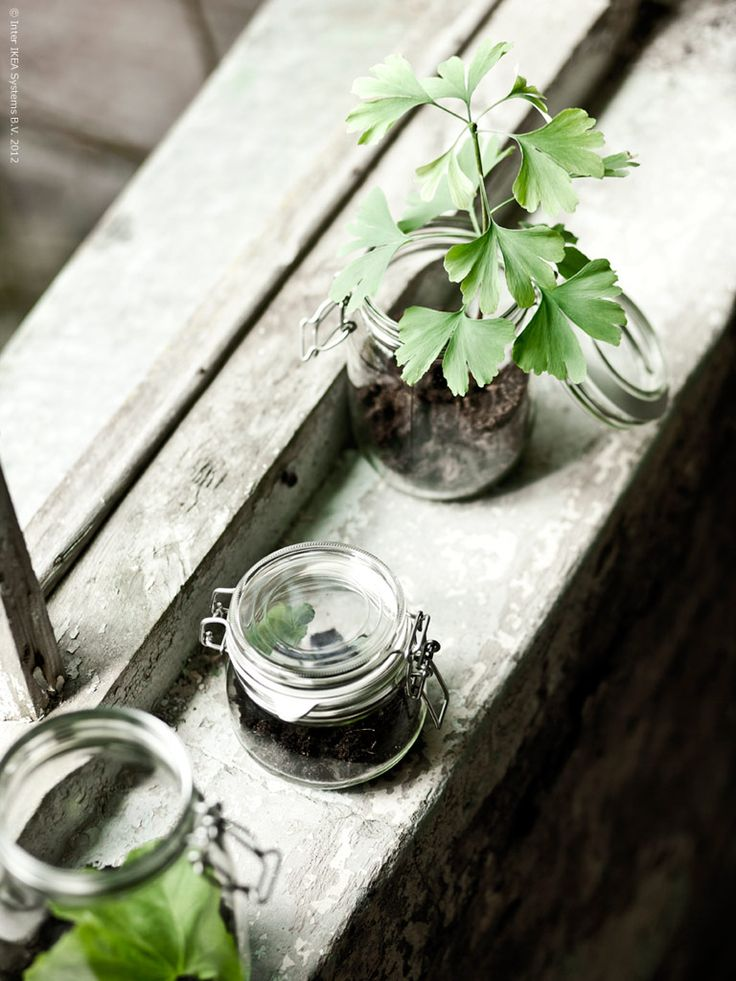 plants in canning jars