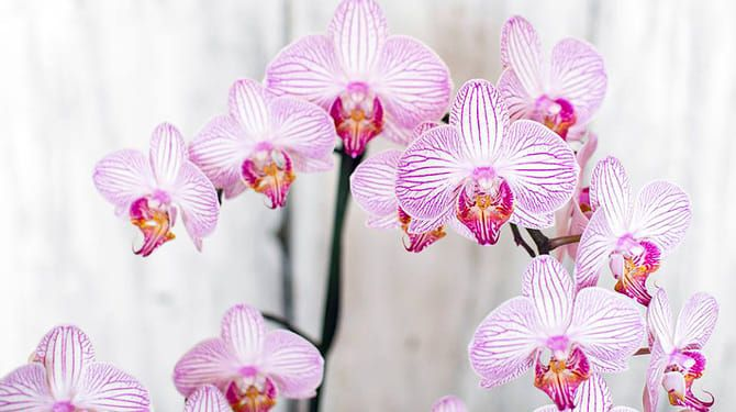 Orchidea počas kvitnutia hnojivo nepotrebuje.