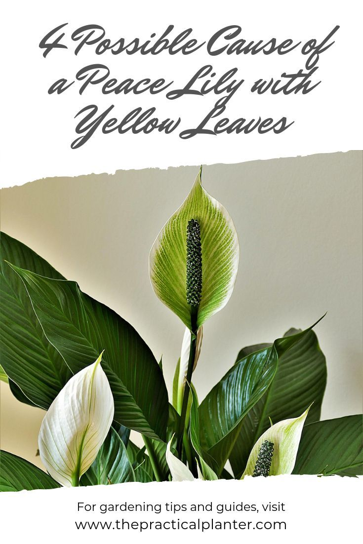 4 Possible Cause Of A Peace Lily With Yellow Leaves Plus The Fixes The Practical Planter Peace Lily Peace Lily Plant Peace Lily Flower