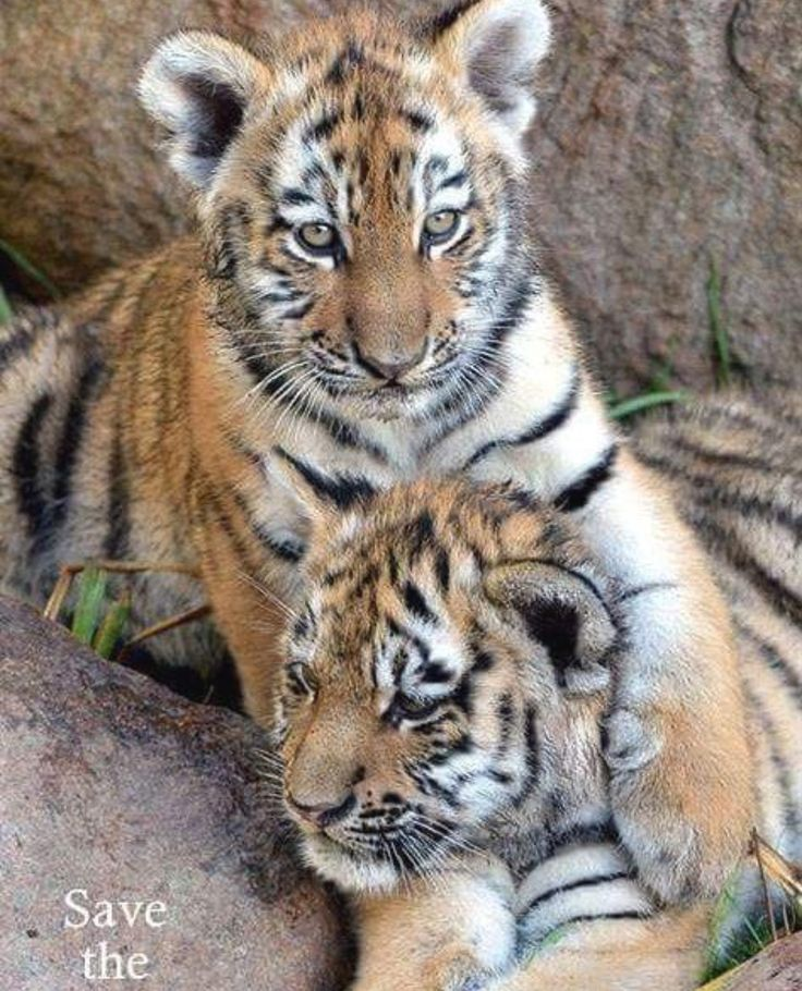 Lovely tiger cubs