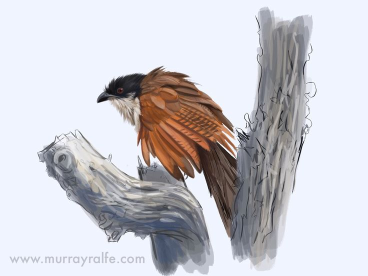 Ipad sketch, Burchell's Coucal, composition for a watercolour commission  By Murray Ralfe  www.murrayralfe.com