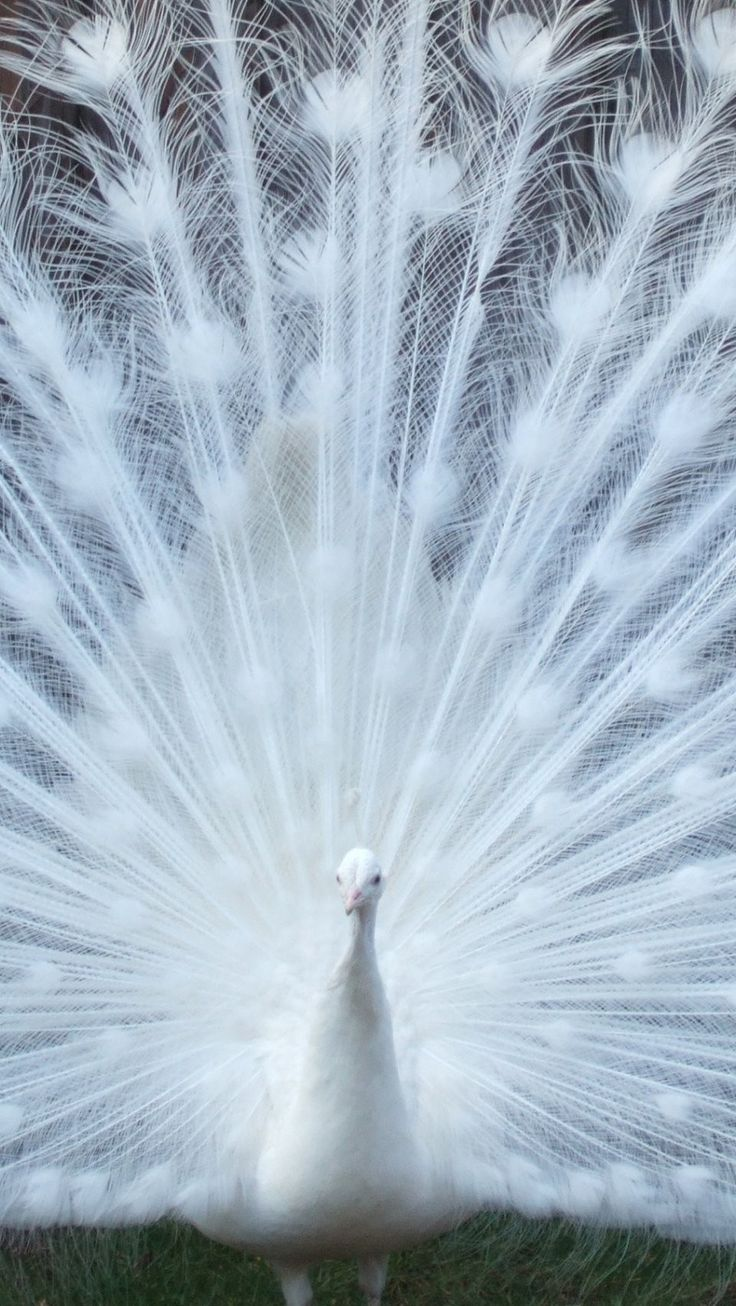 Love Birds Wallpaper For Iphone : Beautiful White Peacock iPhone 6 wallpaper - Birds iPhone 6 Wallpapers 2014 I love these ...