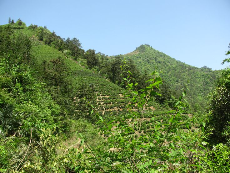 Tea Garden In Huangshan, Anhui, China where Huangshan Maofeng Tea is produced http://www.viconyteas.com/huangshan-mao-feng.html