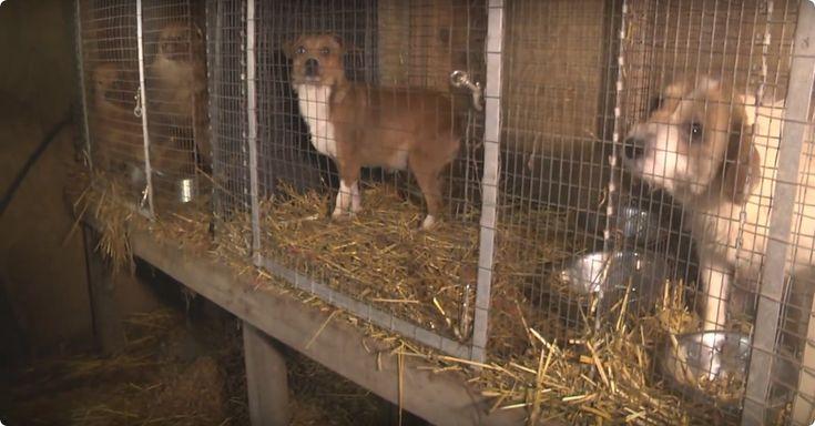 Deze honden leven in een hel… Maar dan komt er een helpende hand! - http://filmpjevandedag.nl/arme-honden-worden-uit-illegale-fokkerij-gered/