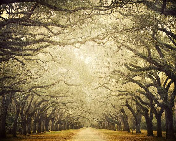 Oak Avenue, Landscape Photography, Wormsloe Plantation, Savannah Georgia, Autumn Fall, Branches, Nature, Tree Print - Cathedral on Etsy, $30.00